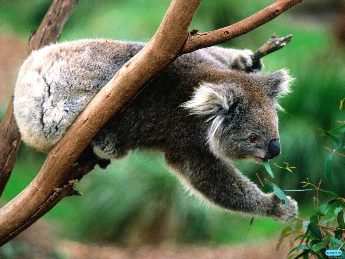 Koala Picture – Wallpaper Photo #
