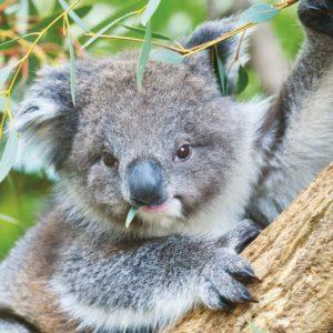 download Koala – Australia Wallpaper (32220219) – Fanpop