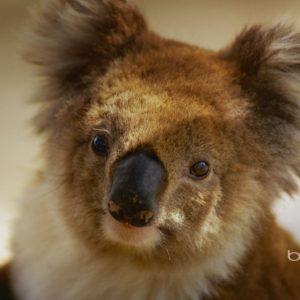 download Australian national treasure naive koala wallpaper – 1920×1200 …
