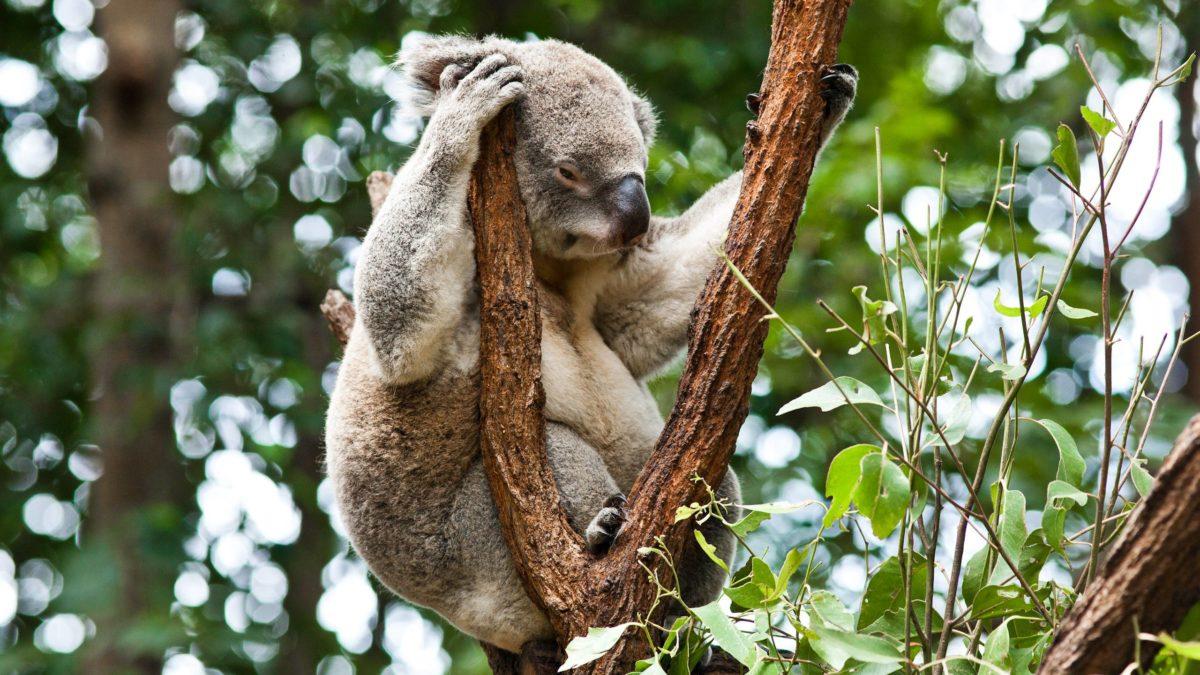 Free Koala Wallpaper 37422 2560×1440 px