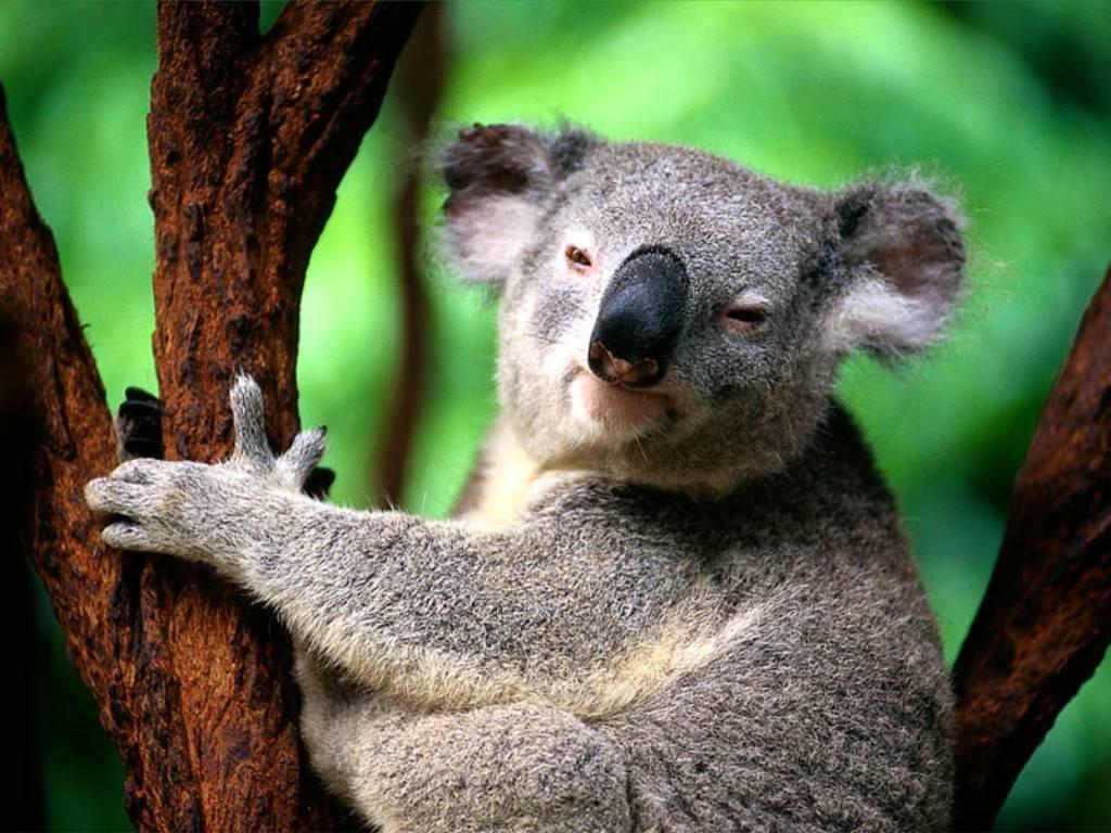 3 Funny Koala Cartoon Wallpaper