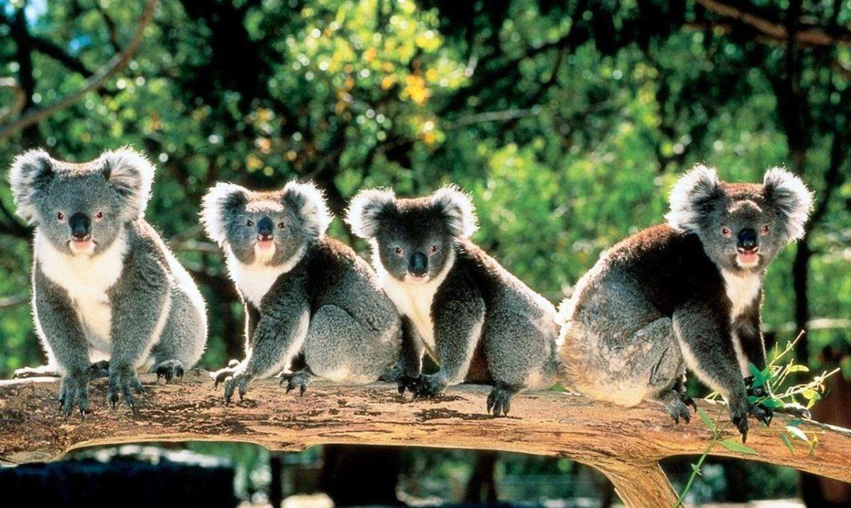 Cute Koala Bears in Trees Australia 1279×763 – High Definition …