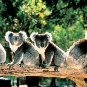 download Cute Koala Bears in Trees Australia 1279×763 – High Definition …