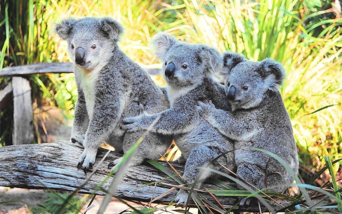 Fluffy Koalas HD Wallpaper 1920×1080