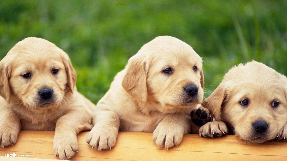 Labrador Wallpapers – HD Wallpapers Inn
