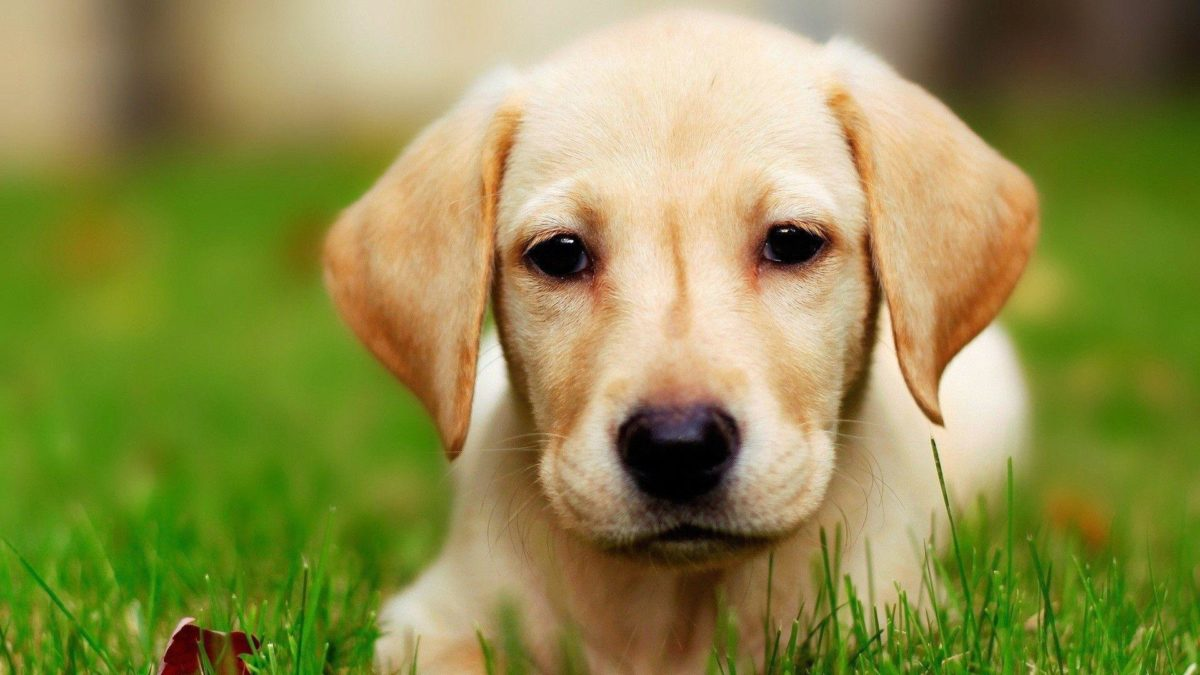 Dog Labrador wallpaper – 981891