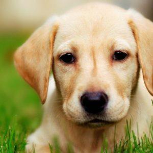 download Dog Labrador wallpaper – 981891