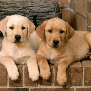 download Labrador Retriever Wallpaper   Labrador Retriever Images   Cool …