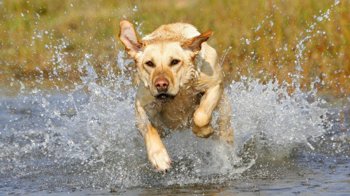 Download Golden Labrador Wallpaper 1920×1080 | Wallpoper #313754