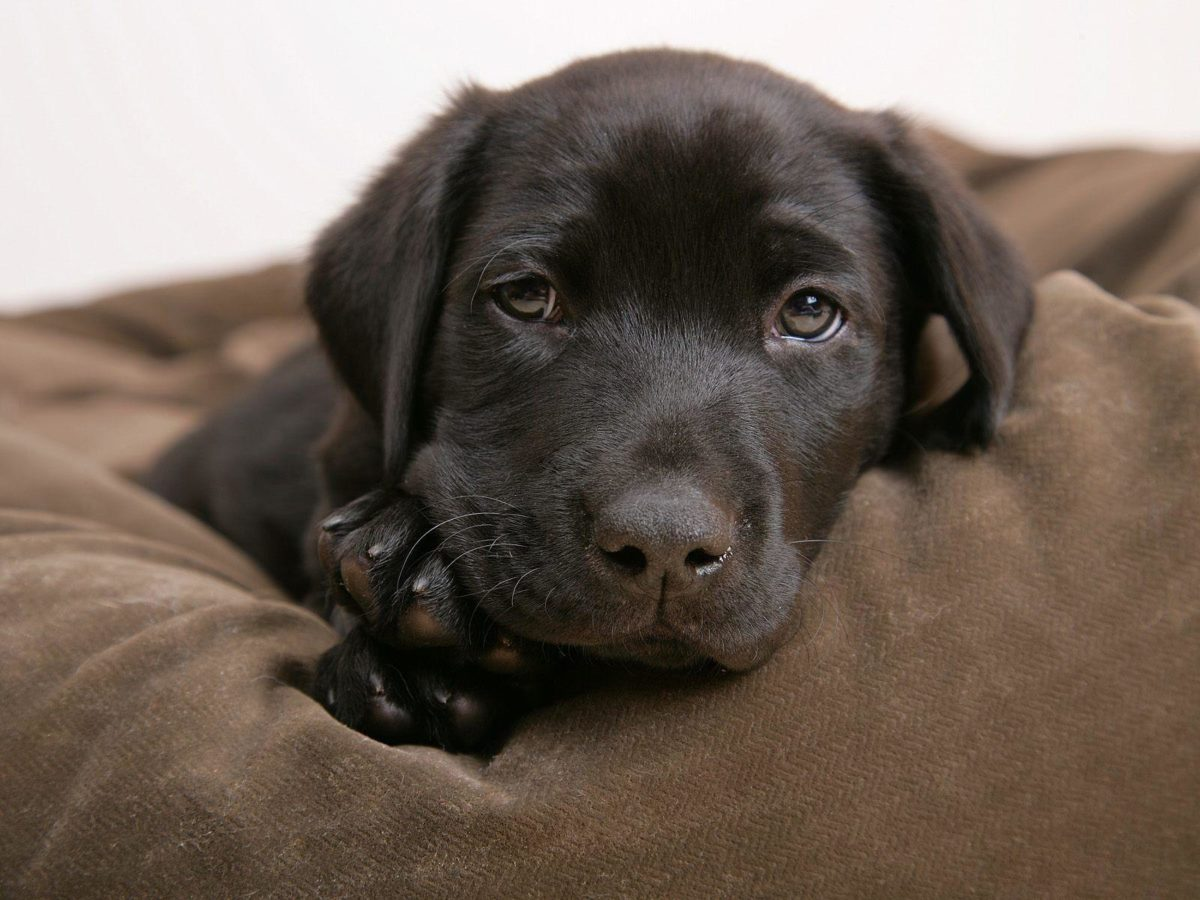 Little labrador – Puppies Wallpaper (14749010) – Fanpop