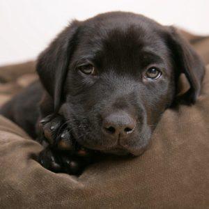 download Little labrador – Puppies Wallpaper (14749010) – Fanpop