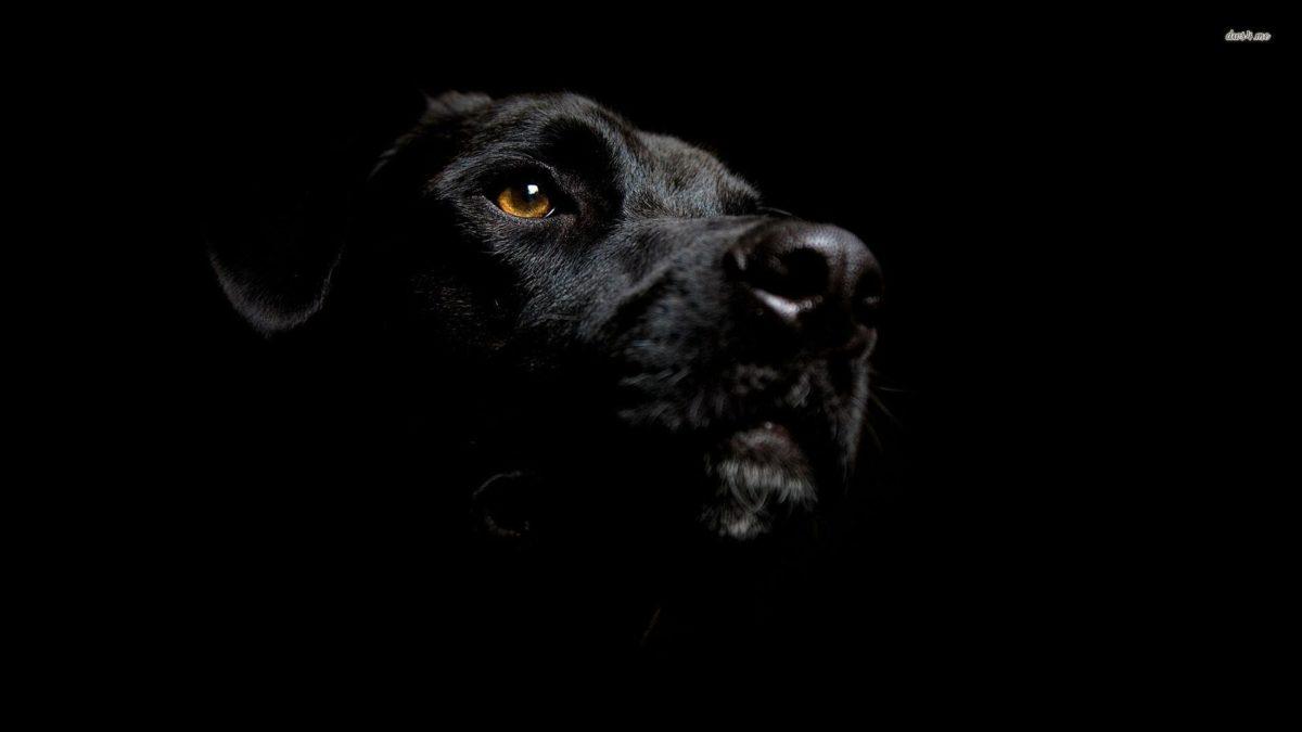 Fonds d'écran Labrador : tous les wallpapers Labrador