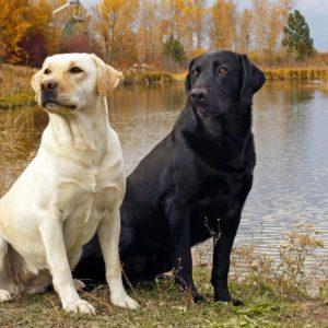 download Pix For > Yellow Labrador Wallpaper