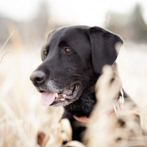 download Labrador wallpaper – 1002350