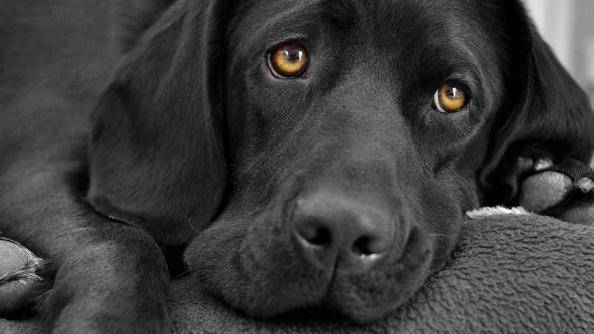 Black Labrador wallpaper – 991414