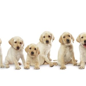 download Pictures Of Labrador Pups 16152 Wallpaper – Res: 1024×768 …