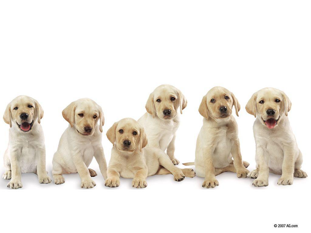 Pictures Of Labrador Pups 16152 Wallpaper – Res: 1024×768 …