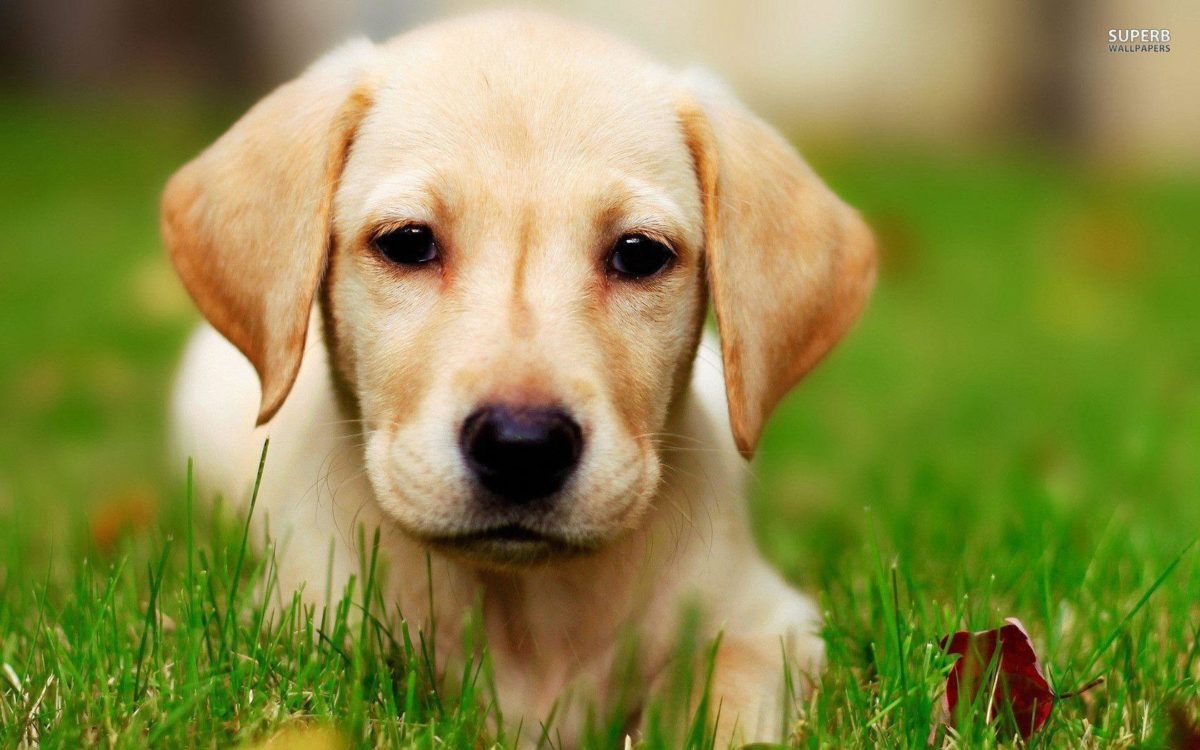Labrador puppy wallpaper – Animal wallpapers – #