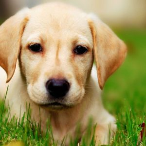 download Labrador puppy wallpaper – Animal wallpapers – #