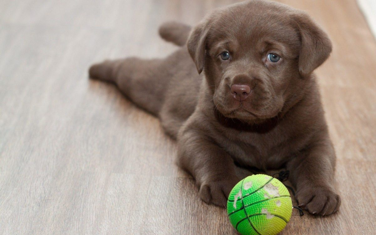 labrador retriever playing ball wide hd wallpaper – WPWide