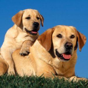 download Normal (4:3) Labrador Dogs Wallpaper