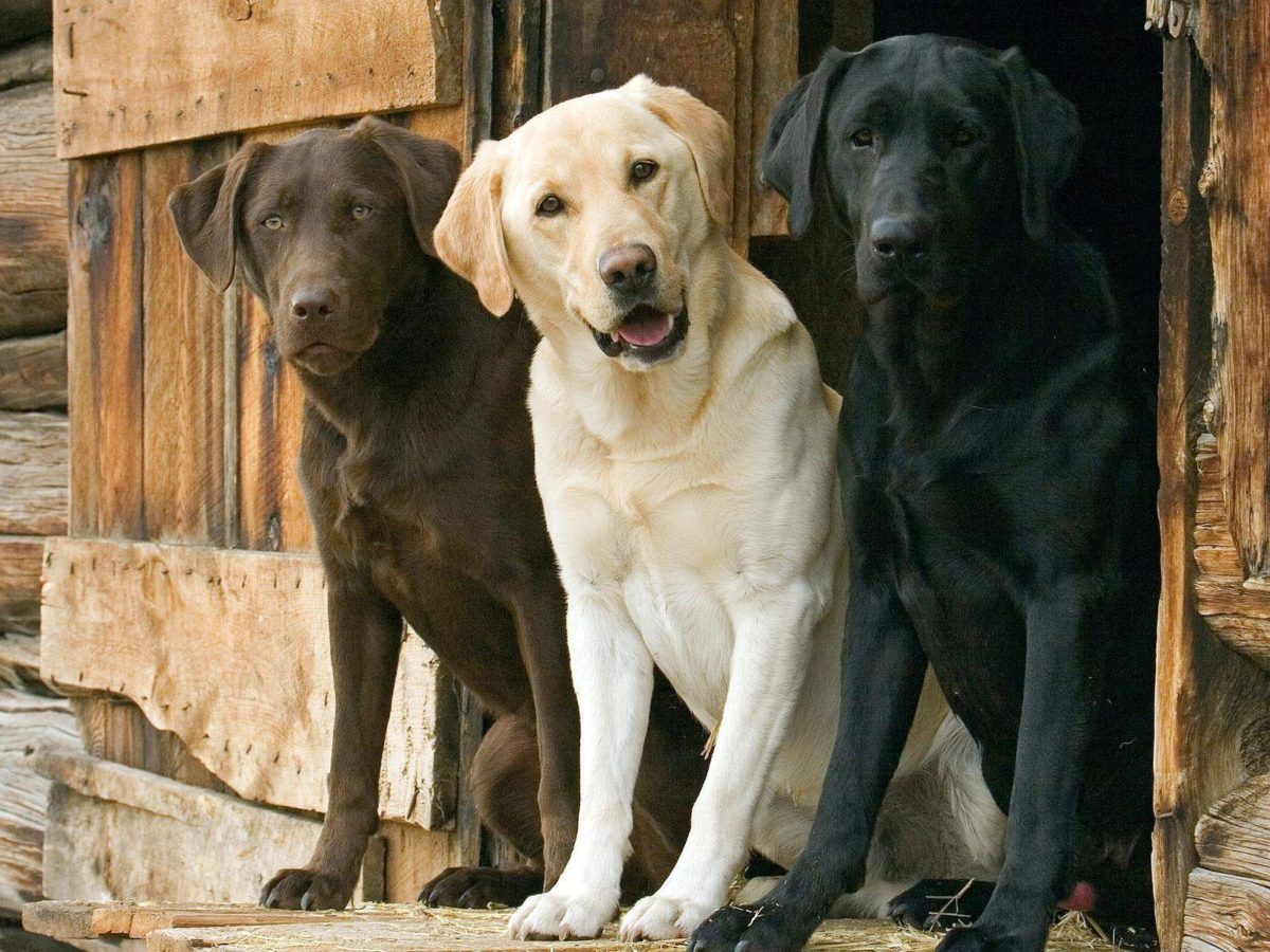 Labrador Retriever Wallpaper | Labrador Retriever Images | Cool …