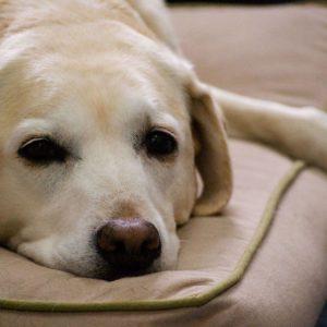 download Yellow Labrador Retriever Wallpaper