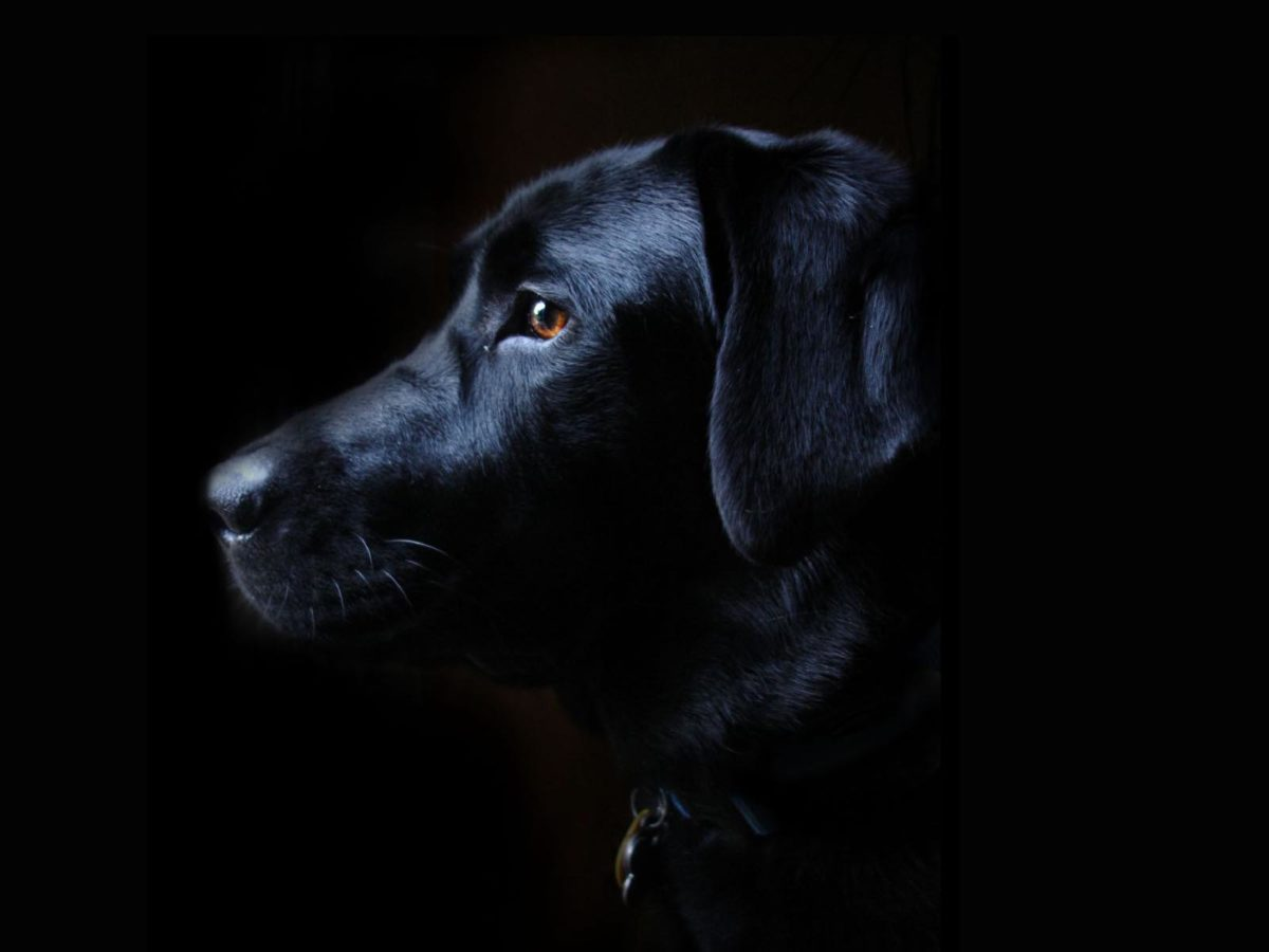 Image – Labrador-retriever-black-dog-free-wallpaper-1600×1200.jpg …