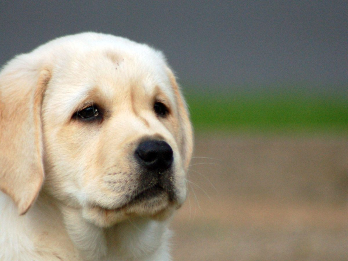 Labrador Puppies Wallpapers | HD Wallpapers Base – m5x.