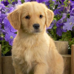 download Yellow Labrador Puppy Wallpapers | HD Wallpapers