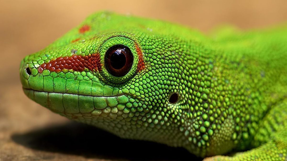 Desktop Wallpaper · Gallery · HD Notebook · Green iguana 1366×768 …