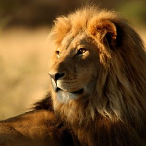 download 764 Lion Wallpapers | Lion Backgrounds
