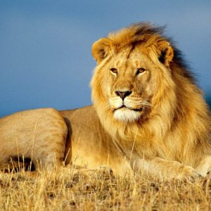 download African Lion King Wallpapers | HD Wallpapers