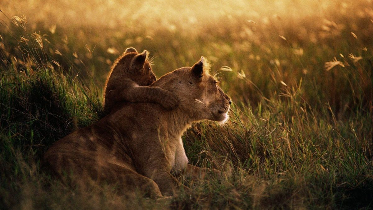 African Lion Wallpapers | HD Wallpapers