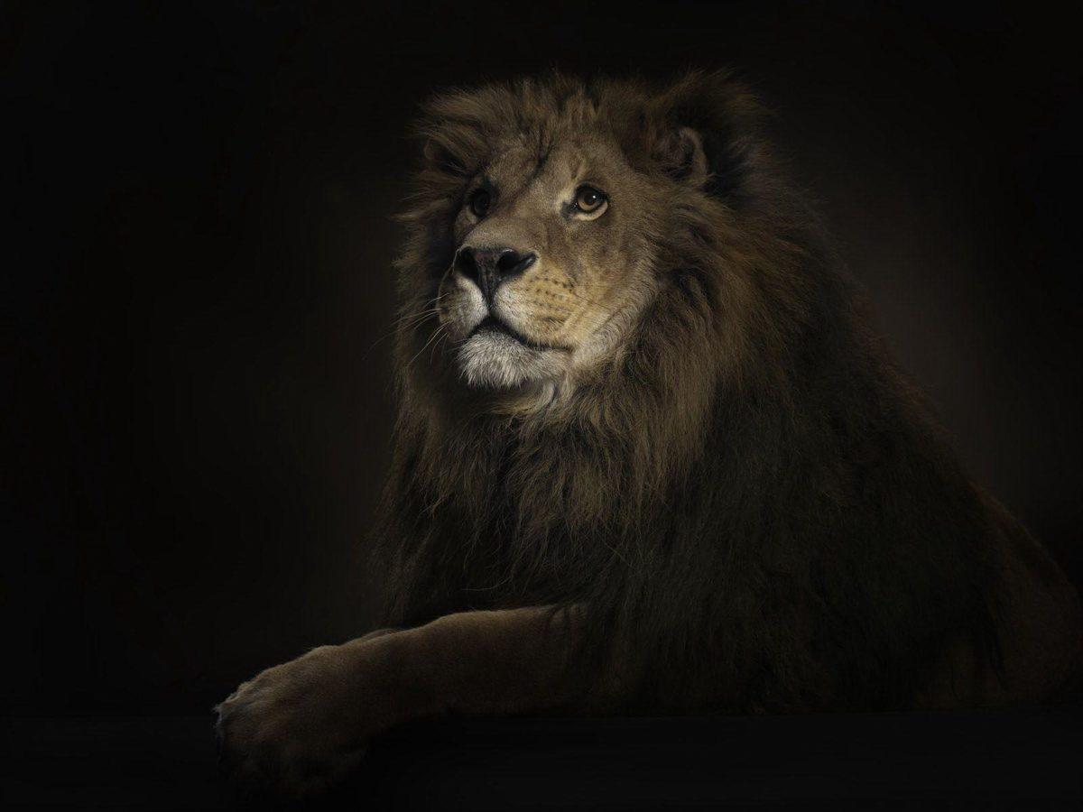 3D Lion Wallpaper – Animal Wallpapers (1944) ilikewalls.