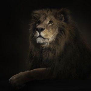 download 3D Lion Wallpaper – Animal Wallpapers (1944) ilikewalls.