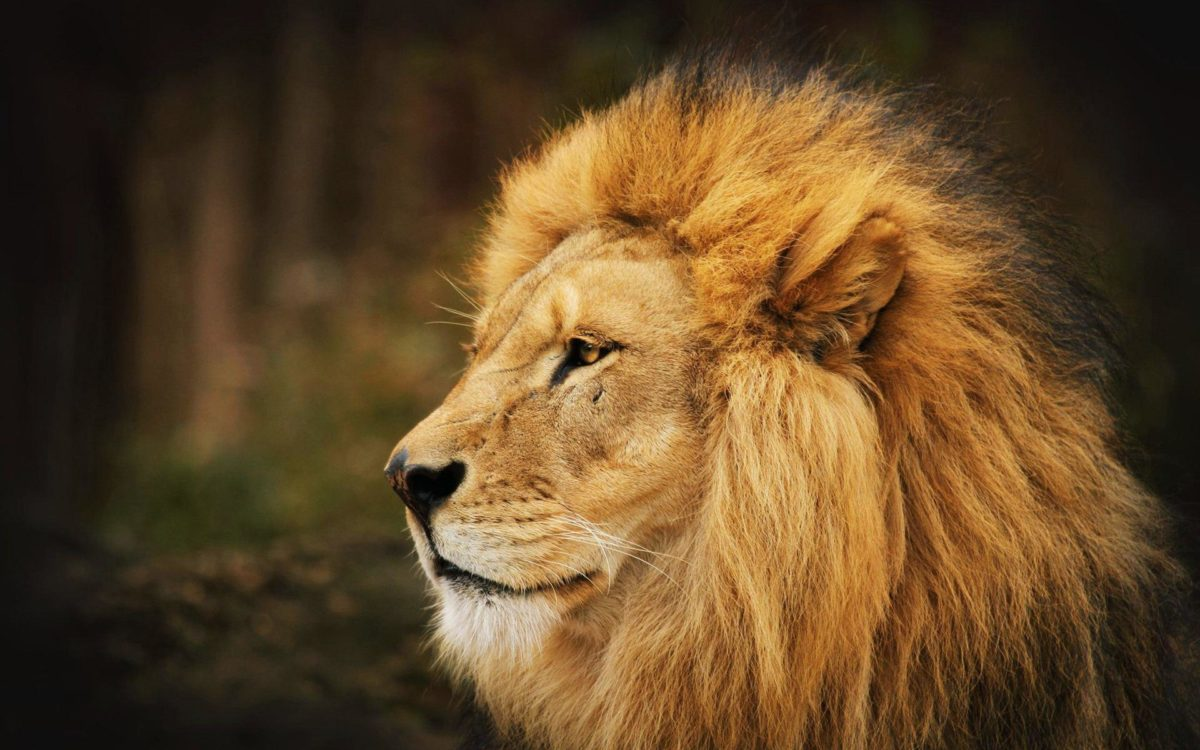 Download Lion Wallpapers 12645 1920×1200 px High Resolution …