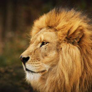 download Download Lion Wallpapers 12645 1920×1200 px High Resolution …