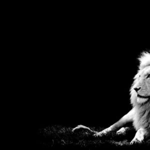 download White Lion Wallpapers – HD Wallpapers Inn