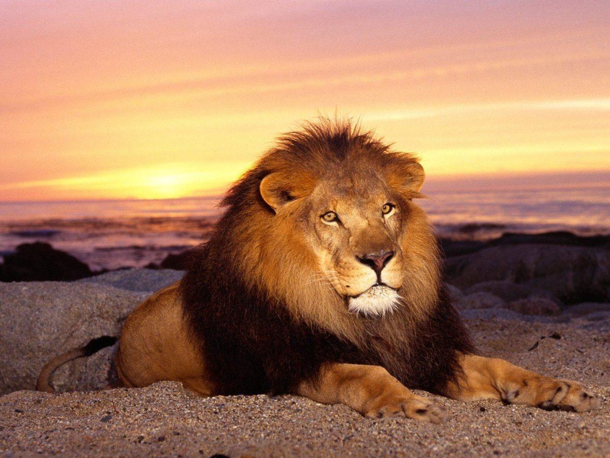 Lion Animal Wallpaper Desktop Pictures 2469 Full HD Wallpaper …