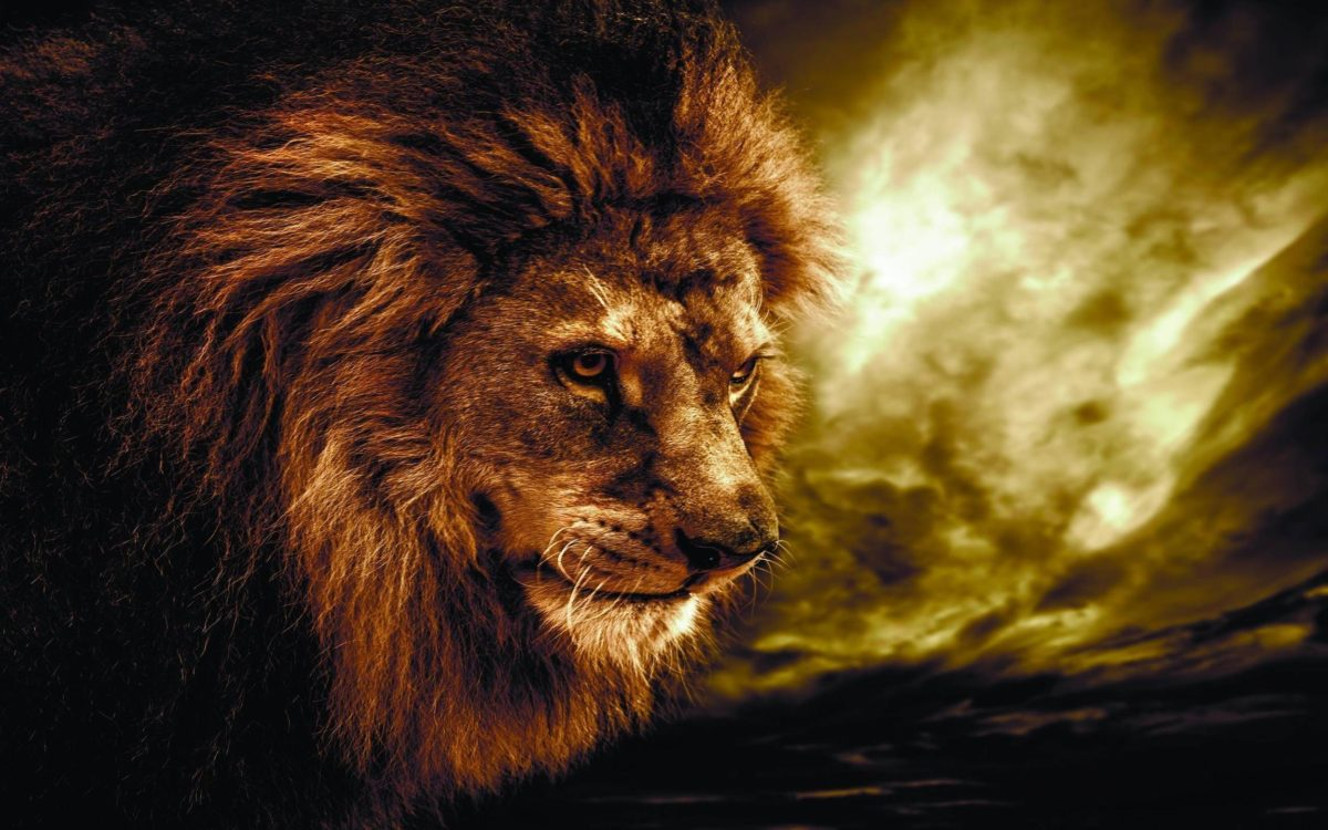 Wallpapers For > Lion Animal Wallpaper