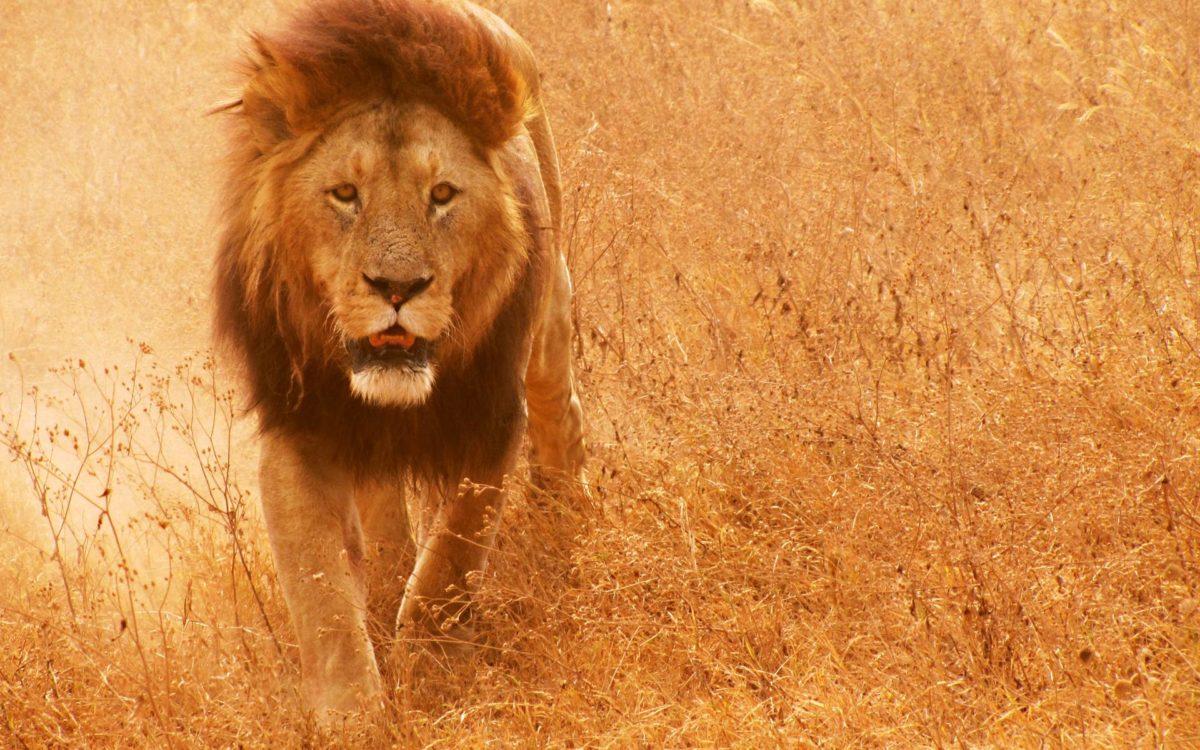 Lion Hd wallpaper – 1101530