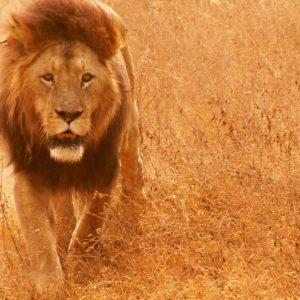 download Lion Hd wallpaper – 1101530