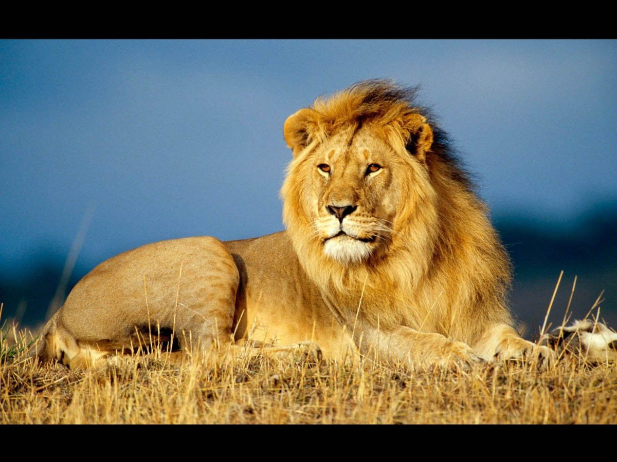 A Place For Free HD Wallpapers | Desktop Wallpapers: Male Lion …