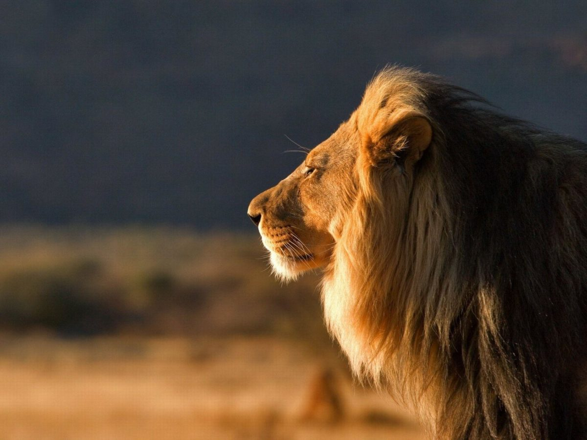 764 Lion Wallpapers | Lion Backgrounds Page 22