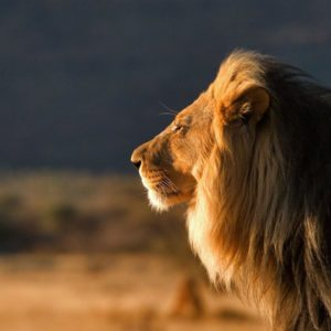 download 764 Lion Wallpapers | Lion Backgrounds Page 22