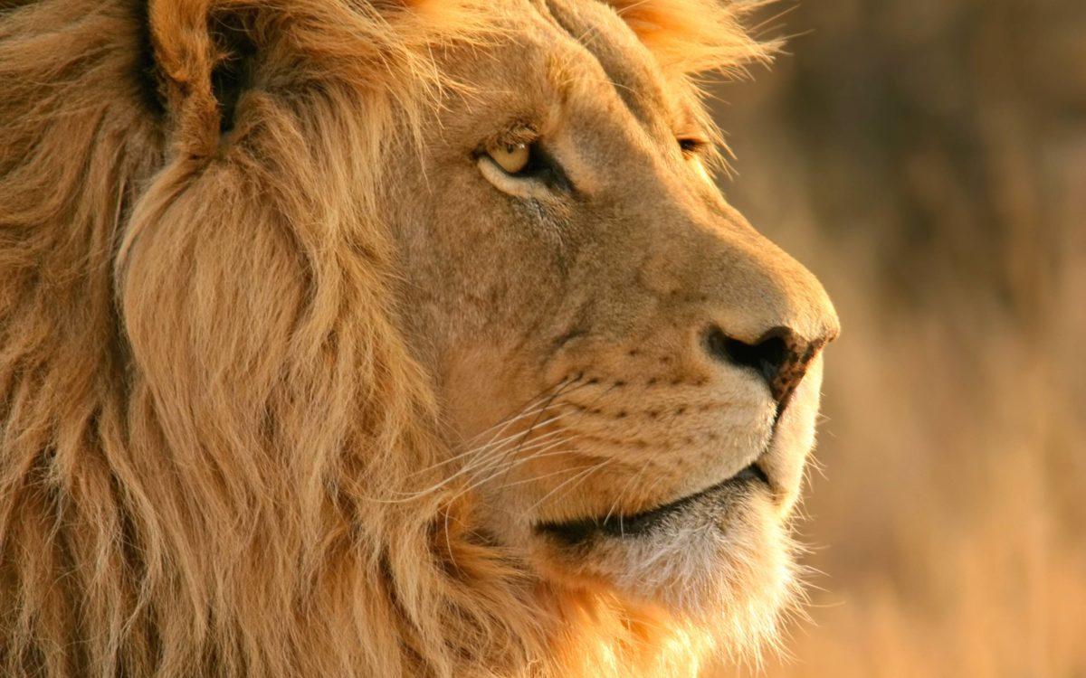 Lion Wallpapers | HD Wallpapers