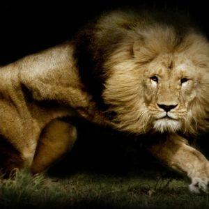 download Lion Wallpaper 50 Backgrounds | Wallruru.