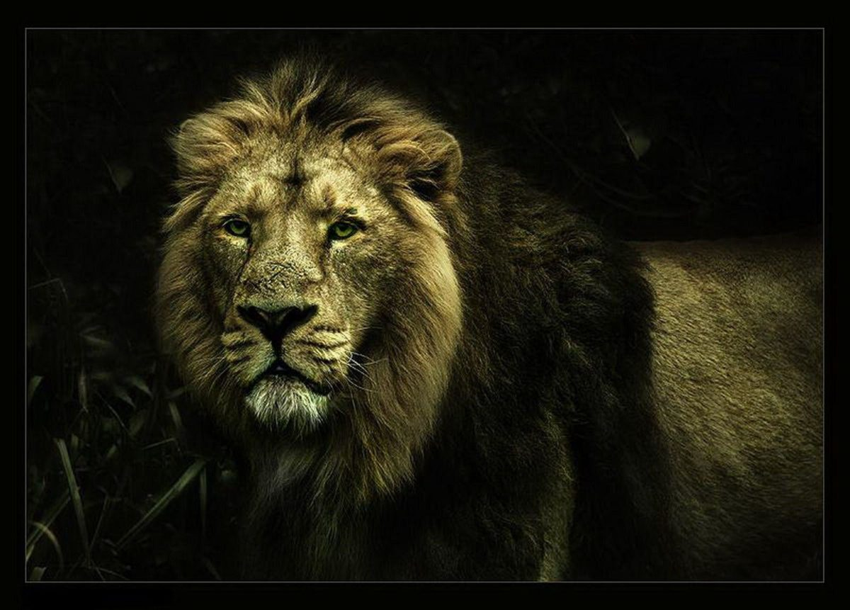 lion wallpapers | lion wallpapers – Part 5