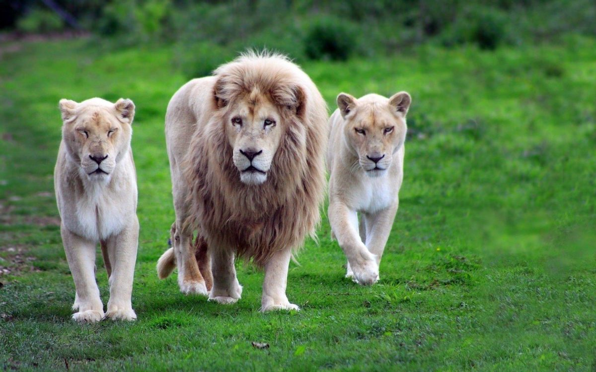 Lion Hd Wallpapers | Free Desk Wallpapers
